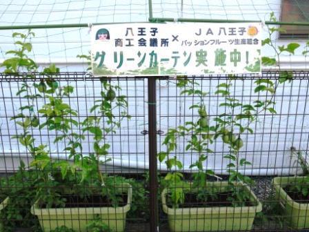パッションフルーツの苗でグリーンカーテン